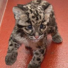 Yes I want one!  THIS will be my next kitty.