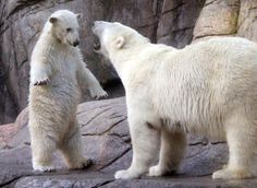 polar bear cubs | POLAR-BEAR-CUBS-640x468.jpg