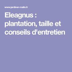 Eleagnus : plantation, taille et conseils d'entretien