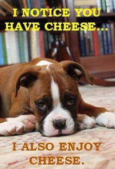 I have some moovelous cheese just for you! #dogs #pets #Boxers Facebook.com/sodoggonefunny