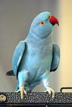 Norwegian Blue Parrot
