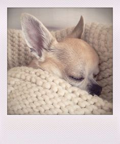 Snug as a bug Chihuahua! Yuppypup.co.uk has stylish clothes for dogs