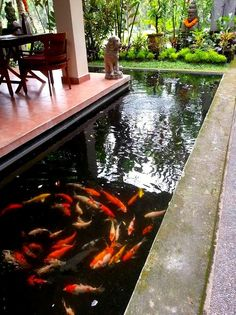 Lovely Koi Fish at our homestay in Ubud, Bali #Indonesia