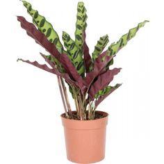 Maija Miosha 29.99€ @plantagen     Rehevä kasvi, jonka kauniiden, pitkänomaisten ja aaltoilevien lehtien alapuoli on punertava. Viihtyy valoisalla ja puolivarjoisalla paikalla. Vältä suoraa auringonpaistetta. Pidä kasvualusta hieman kosteana, mutta ei märkänä. ...