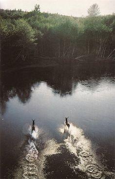 roosevelt elks fording a stream   animal + wildlife photography