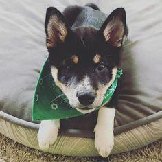 Candid📸  #shibainumania #shibainu #shibainus #shibainupuppy #ShibaInuGram #ShibaInuInstagram #shibainupup #mydog #dogsofinstagram #dogsofig #doglife #dogscorner #lovedogs #doglover #happydog #Puppy #PuppyLove #PuppyLove #puppies #puppiesofinstagram #dogstagram    #Regram via @bronie_the_shiba) Love Dogs, Puppy Love, Shiba Inu, Akita, Doggies, Candid, Boston Terrier, Dog Breeds, Corgi