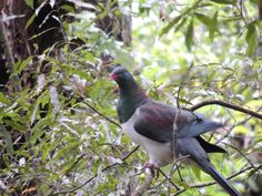 New Zealand Wood Pigeon (Kereru)  -- Totara Park -- Manurewa -- Auckland -- New Zealand -- 20th February 2014