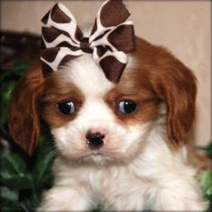 So cute <3<3  We're getting a puppy like this one in January!!!  It's a King Charles Cavalier.  The boys are so excited.