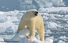 """Polar Bear - Ursus Maritimus -   Polar bears are among the largest bears in the world. Adult males may reach 800 kilograms (kg) or 1760 pounds (lbs). In Ontario, the largest male bear recorded from """"live capture"""" research studies weighed 654 kg (1439 lbs)."""