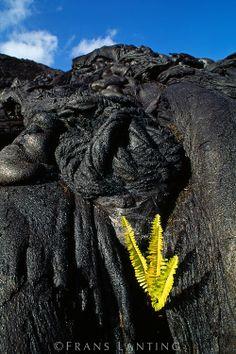 'Ama'u ferns growing in lava flow, Sadleria cyatheoides, Hawaii Volcanoes National Park, Hawaii