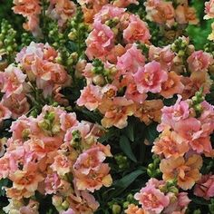 Twinny Peach Snapdragons - Annual Flower Seeds