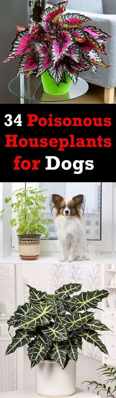 34 Poisonous Houseplants for Dogs | Dog Care & Health Tips for happy life -- Repin to your own inspiration board --