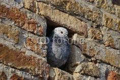 Pigeon in the wall's hole looking outside