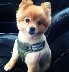 Cutest Pomeranian hair cut! I like the style