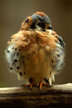 Baby Hawk ~ American Kestrel - Wikipedia, the free encyclopedia... The American Kestrel (Falco sparverius), sometimes colloquially known as the SparrowHawk, is a small falcon, and the only kestrel found in the Americas.✯