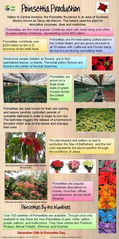 Poinsettia, interesting and festive!