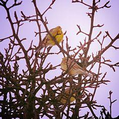 Strnádka žltá