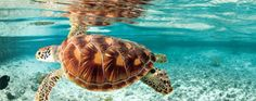The Caribbean is a rich tapestry of many diverse cultures and influences waiting to be discovered. Sea Turtle