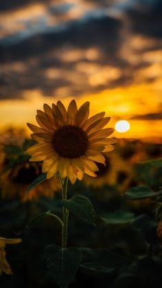 Sunflower Fields, Yellow Sunflower, Sunflower Garden, Yellow Flowers, Cute Wallpapers, Wallpaper Backgrounds, Iphone Backgrounds, Wallpaper Ideas, Iphone Wallpapers