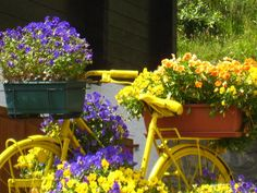 Yellow bicycle and purple flowers