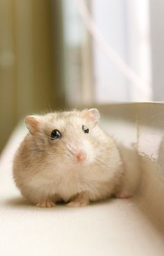 The World Wants More Cute – Hamsters are the Answer | Artism and ...
