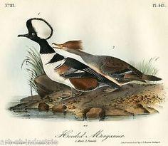 HOODED MERGANSER, AUDUBON ROYAL OCTAVO HAND-COLORED 1ST EDITION No.83, Pl.413