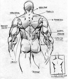 A bit simplified back anatomy,
