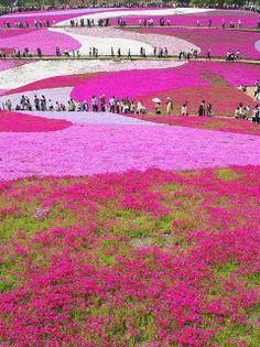 Uno scatto del parco Hitsujiyamaa a Chichibu (Giappone) dove più di 400.000 fiori rosa costruiscono un coloratissimo tappeto naturale!