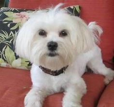 Noelle is an adoptable Maltese Dog in Willingboro, NJ. This gorgeous, young Maltese girl has been shuffled around for too long, and now needs to find a FOREVER home. Noelle is 2-3 years old, weighs a...