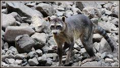 wasbeer hond