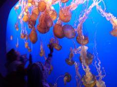 Monterey Bay Aquarium - Moon jellies