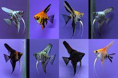 Ángel pescado De agua dulce