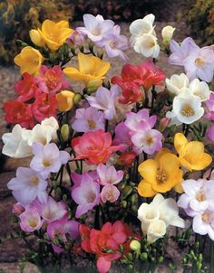 14 Count Freesia Single Mixed Bulbs at Lowe's. Freesias are delicate flowers, perfect for cutting. Long Lasting Flower, Flower Arrangements, All Flowers, Pretty Flowers, Planting Bulbs, Beautiful Blooms, Beautiful Flowers, Trees To Plant, Freesia