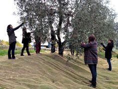 Olive harvesting at Villa Cerna
