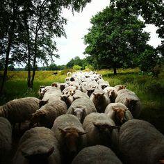Flock @Tenhaagdoornheide