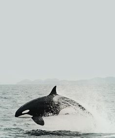Orca... In the wild is so beautiful!! Captivity is a sad undeserved prison sentence.