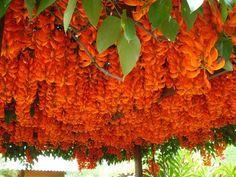 Novidades da Plantamundo: Jade Vermelha, Jade Azul, Vanilla, Eucalipto Arco-Iris…LOUCURA!!!!