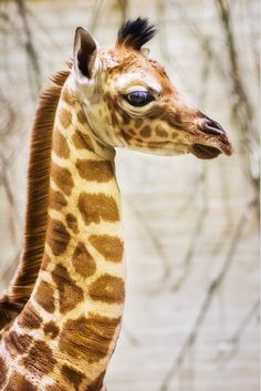 A 6 day old giraffe