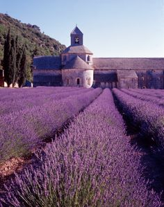 Abbey of Senanque and blooming rows of lavender flowers in Provence, France. Lavender Blue, Lavender Fields, Lavender Flowers, Lavander, Provence Lavender, Luberon Provence, Provence France, Belle France, Valensole