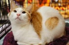 Wendal and Doozie is an adoptable Domestic Short Hair - Orange And White Cat in Norwalk, CT. Wendal and Doozie were�adopted form us�as small kittens. The family relocated oversaes and gave them up. Th...