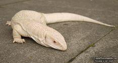 The Finnish Skeletor Cute Reptiles, Reptiles And Amphibians, Mammals, Savannah Monitor, Melanistic Animals, Animals And Pets, Cute Animals, Monitor Lizard, Albino