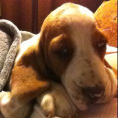 Baby Basset.