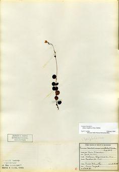 Linnea Borealis (Twin flower)