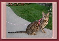 Leash Training your Bengal Cat.