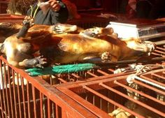 This photo of roasted dog lying on top of a cage of living dogs, was taken at the Moran Market outside of Seoul, Korea. Not only was the roasted dog tortured to death, but they use the dead body to torment the still living dogs. This is not a national tradition. It is a National Disgrace! Time to write to Korean government. Savages!