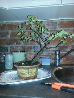Uusi bonsai jokuruusu