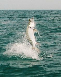 """Charter a boat and catch the sport fish of every angler's dreams in """"The Tarpon Capital of the World."""" Fort Myers - Sanibel, love living on the Gulf Coast!"""