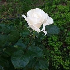 #GiorgiaPalmas Giorgia Palmas: Dal mio giardino in Sardegna... Non è una mimosa ma è un fiore bellissimo, forte, puro, unico, vitale, è un fiore perfetto, è come tutte noi donne, Auguri Donne, oggi e sempre  #8marzo #festadelladonna #oggi e #sempre #auguri #donne siete speciali!!