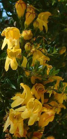 Yellow Bush Snapdragon, has very fragrant, golden flowers, and small resinous leaves.  Sometimes called Yellow Bush Penstemon.