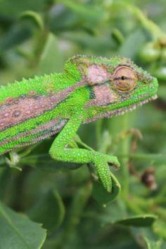 38 Best Los Camaleones images | Reptiles, amphibians, Animals ...